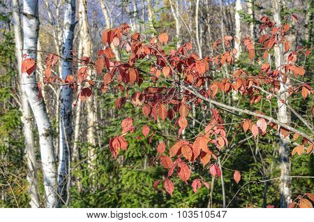 Red leaves on the trees