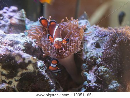 Clownfish, Amphiprioninae