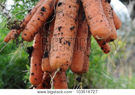 Gross Carrot