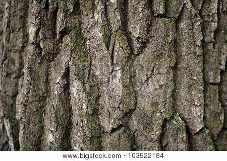 old oak bark background