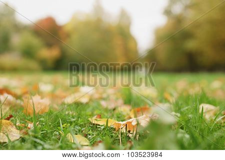 autumn maple leaves on the ground in grass