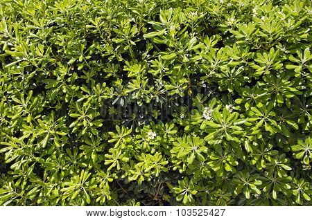 Background Of Green Bush
