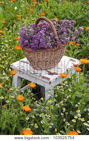 Freshly Picked Oregano In Wicker Basket On  Chair In Garden