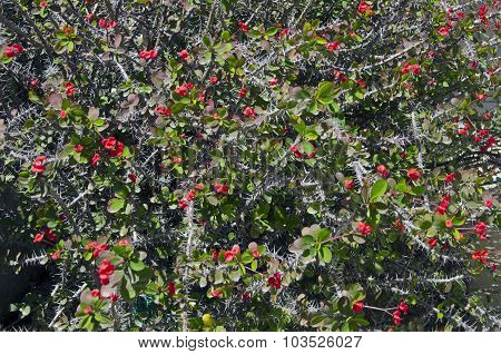 Background Of Flowering Euphorbia Milii