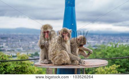 Monkey family over telescope playing in Arashiyama mountain, kyoto
