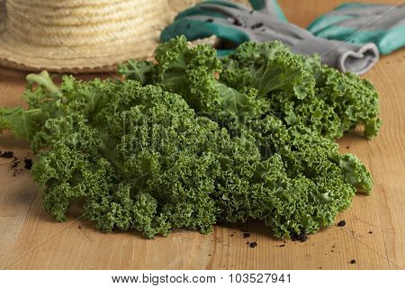 Fresh picked organic curly kale