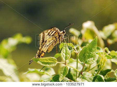 Southern Swallowtail Butterfly