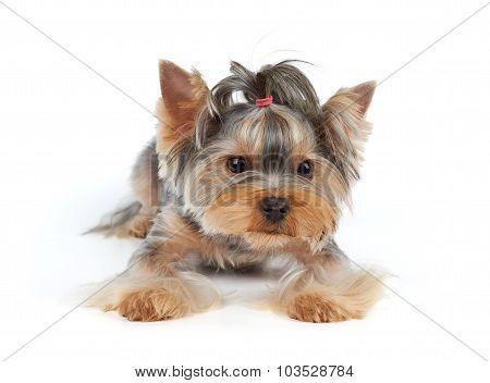 Dog With Haircut