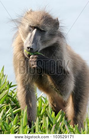 A Baboon Eating A Green Leaf
