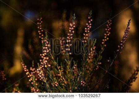 Close-up of heathers Calluna Vulgaris