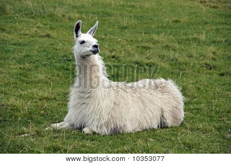 Pet Llama in field