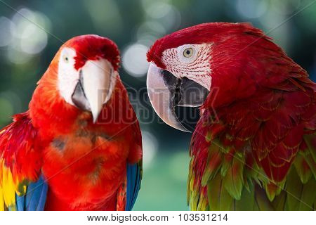 Red Parrot In Bali Bird Park,, Indonesia