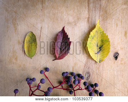 Various autumn leaves and wild grapes