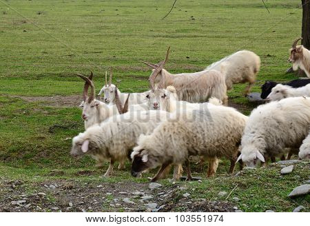 Goats and sheeps grazing in the field