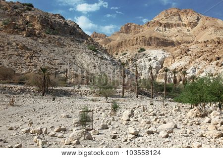 Pamls At Mt In National Park Ein Gedi Near The Dead Sea In Israel
