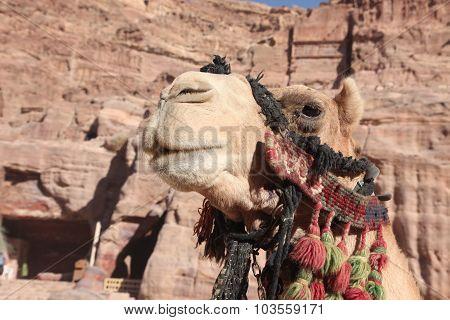 Camel In Petra , Jordan