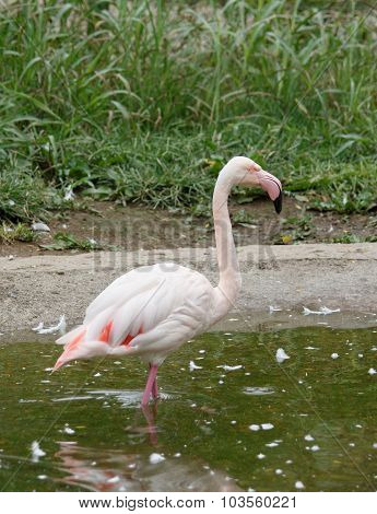 Beautiful Greater Flamingo