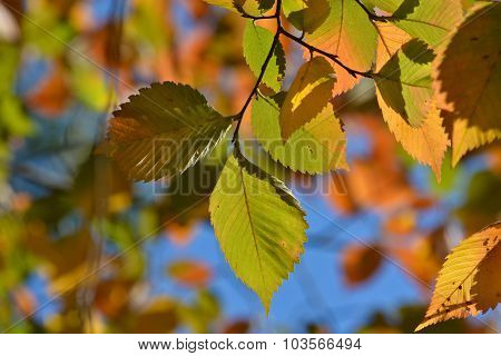 Autumn Leaves On The Elm Trees.