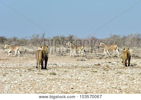 Lion And Zebras In Etosha, Namibia