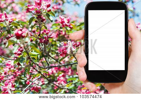 Smartphone And Red Blossoms On Tree In Spring