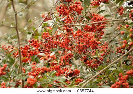 Firethorn (pyracantha) Bush Berries