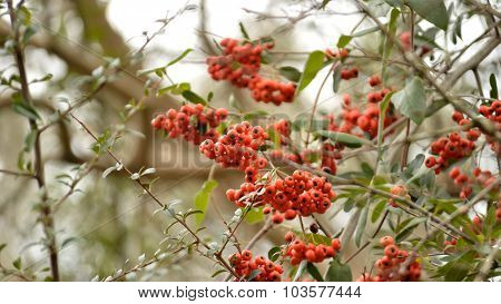 Firethorn (pyracantha) Bush Berries