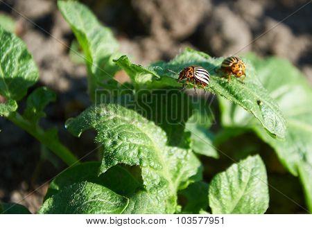 Colorado Bugs On Potato Leaf