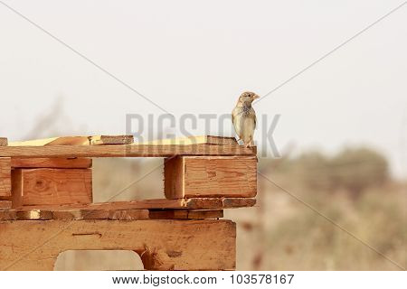 Sparrow Standing On A Wooden Pallet