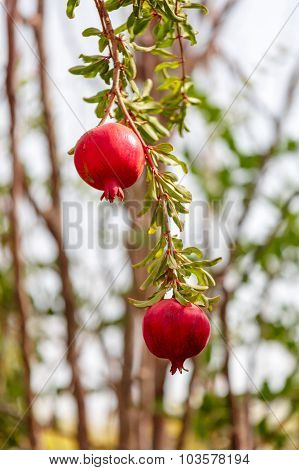Two Pomegranates On Branch