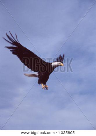 Weißkopfseeadler Haliaeetus Leucocephalus 8