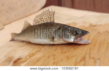 walleye with open mouth