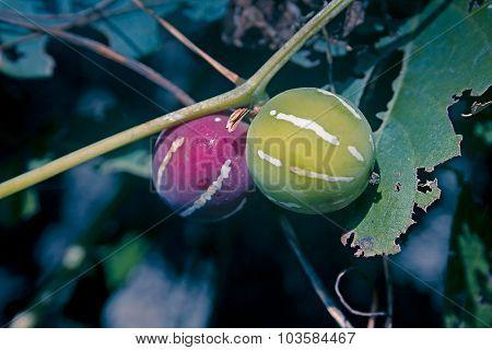 Lollipop Climber, Marble Vine, Diplocyclos Palmatus, India