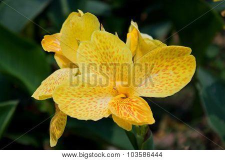 Yellow canna flower plants