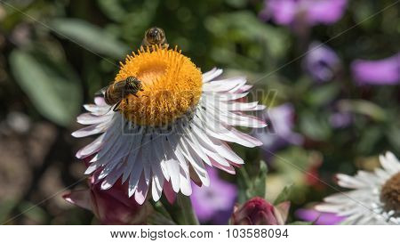 Bees feeding on a flower