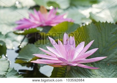 Blossom Pink Lotus Flower