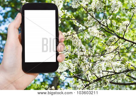 Smartphone And Cherry Spring Blossoms