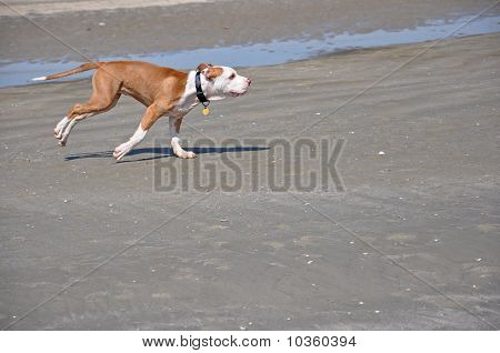 Dog Running On The Sand