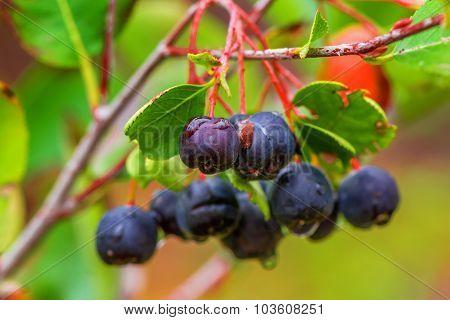 Aronia Or Black Chokeberry