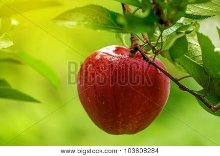 Red Apple On Branch After Rain