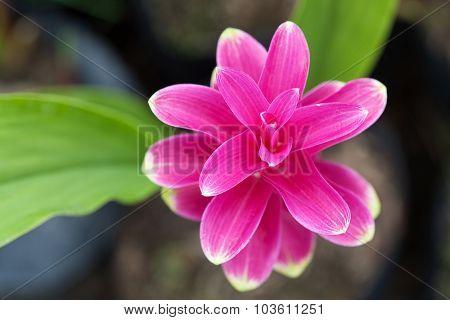 Closeup Of Siam Tulip