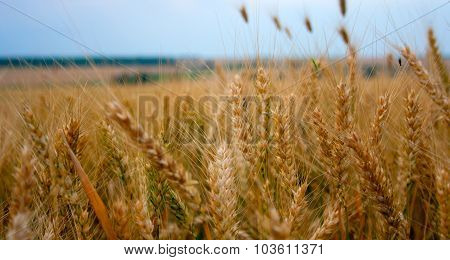 before harvest time