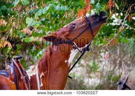 Skewbald Horse Eating Leaves