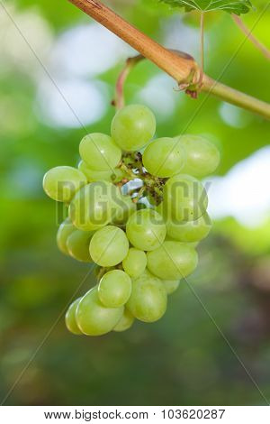 Closeup Of Fresh Grape