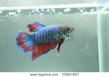 Siamese Fighting Fish, Betta Fish