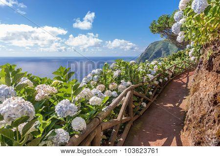 Coastal Path With hydrangea In Sao Miguel, Azores Islands