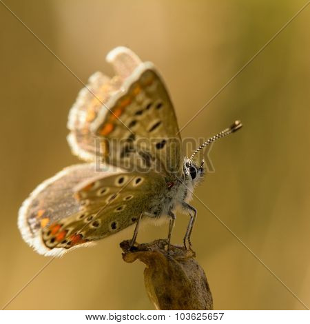 Brown Butterfly With Tattered Wings