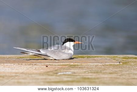 Tern Resting On A Bridge