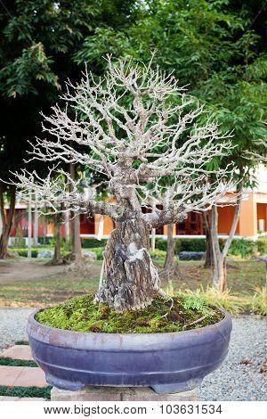 Bonzai Plant