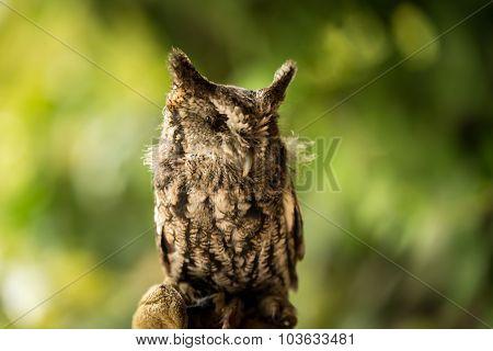 Screech owl missing an eye