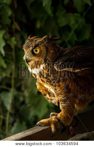 Injured Great Horned Owl
